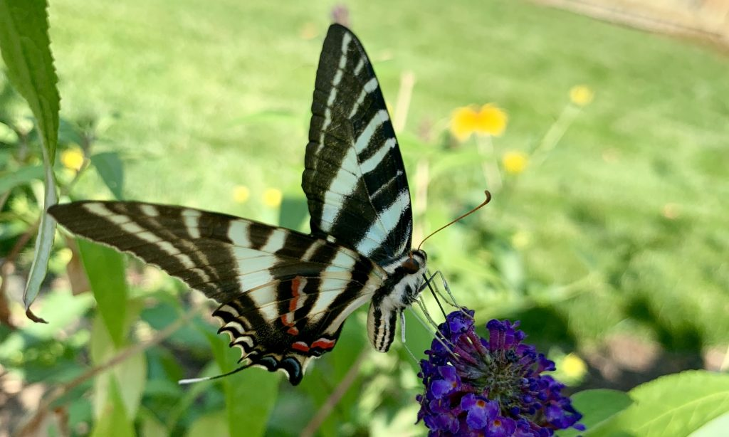 Zebra Swallowtail Virginia Beach 2019